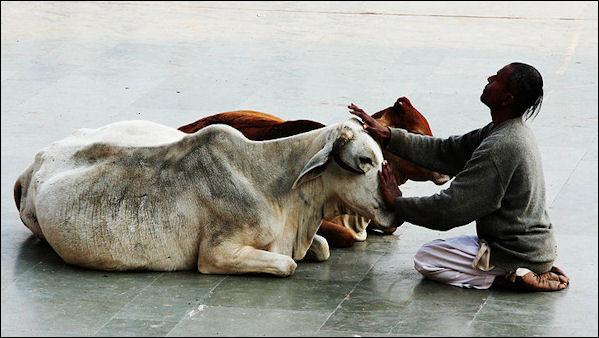20120502-Cow_stroker