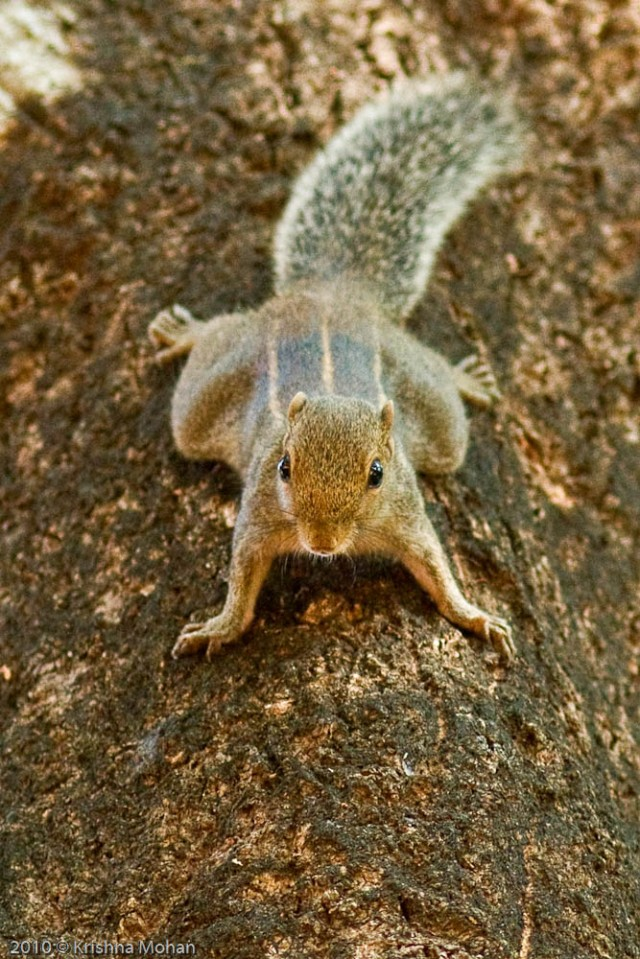 Indian-Palm-Squirrel-2