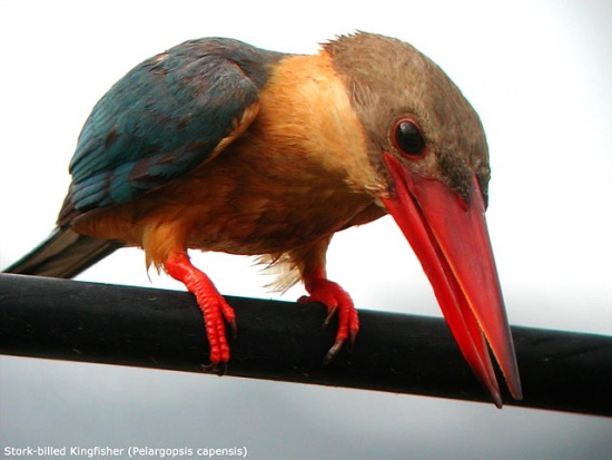 550px-Stork-billed_Kingfisher_LPoh