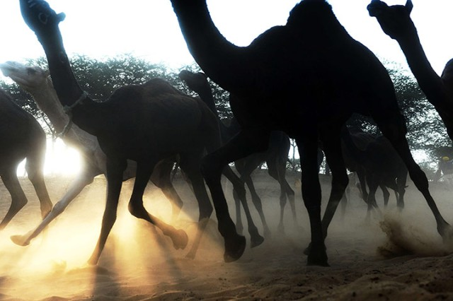 A herd of camels kick up sand as they rush down a dusty embankment
