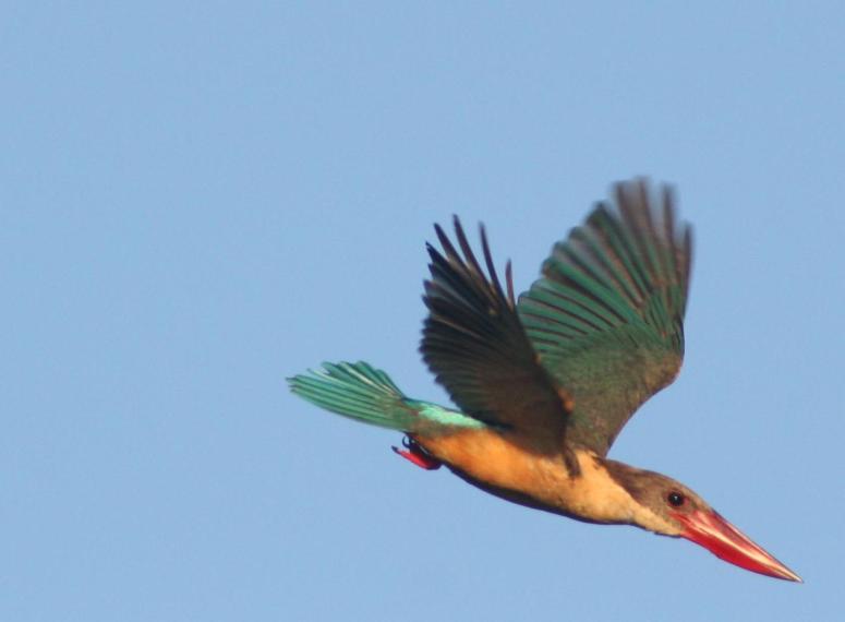 Stork-billed_Kingfisher