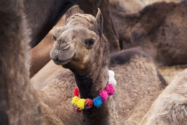 This-young-camel-has-been-017