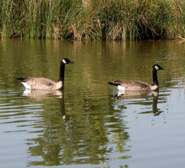 canadian_geese_in_water