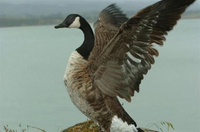 geese_cull_cost_sharing_proposed_1630887165