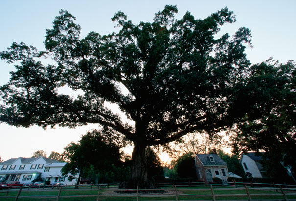 maryland-state-tree-wye-oak (1)