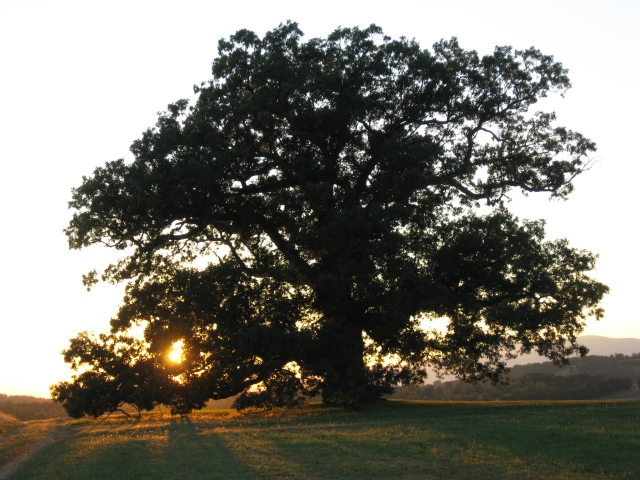 oak-tree-oak-ridge-016