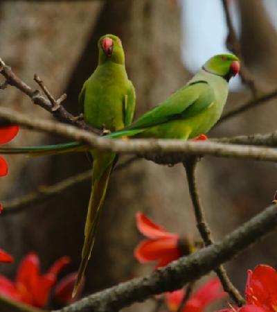 rose-ringed-parakeets