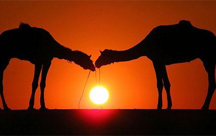 india_camels